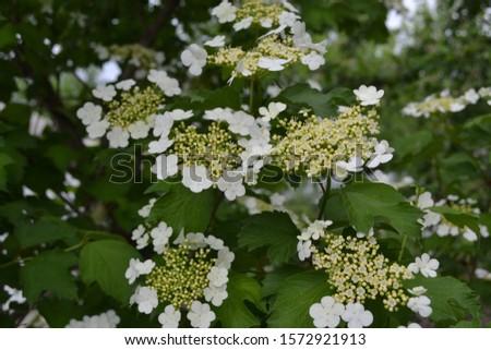 Viburnum, a genus of woody flowering plants Adoxaceae. Useful tree plant. Medicinal fruits. Home garden. White flowers #1572921913