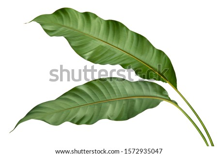 Philodendron leaf tropical isolated on white background, low angle view. #1572935047