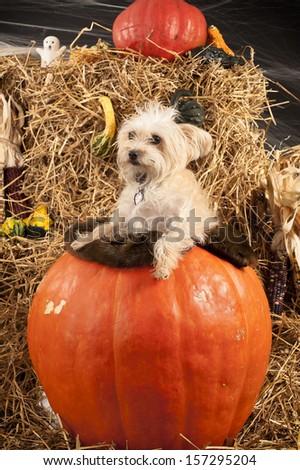 Dog in the pumpkin during Halloween photo shoot