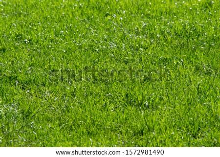 Green grass background in a daylight in garden #1572981490