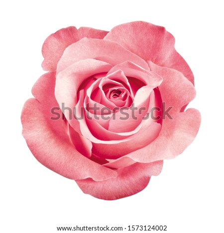 beautiful pink rose blossom, isolated #1573124002