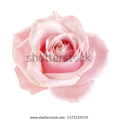 light-pink rose blossom on white background #1573124110