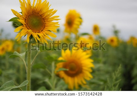 field of sunflowers. Selective focus. Beautiful bright yellow flowers. #1573142428