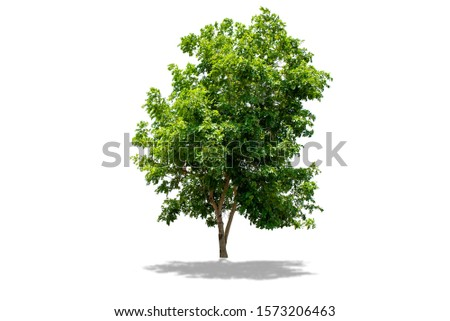 Golden shower or Indian laburnum, Pudding-pine tree, Purging Cassia ( Cassia fistula L. ). big tree isolated on white background with clipping path #1573206463