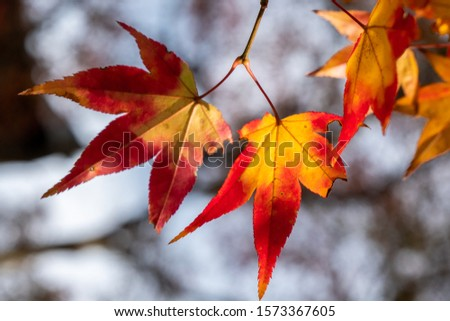 Autumn sunset landscape in Japan with beautiful autumn leaves. #1573367605