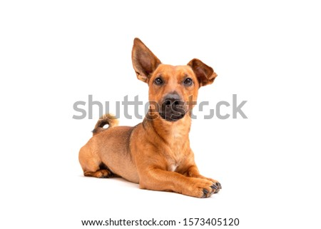 Small brown dog sitting on the floor isolated on white background. Mixed breed of parson jack russell terrier, chihuahua and german shepherd. Age 2 years.Funny dogs concept. #1573405120
