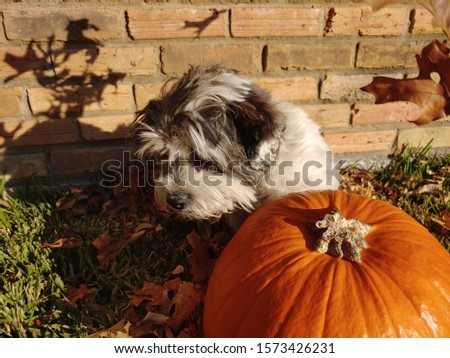 This is an Oopsa Lopsa poodle in a autumn background. You can see the vibrant colors and his beautiful white, brown and gray fur. This picture has a beautiful seasonal element.