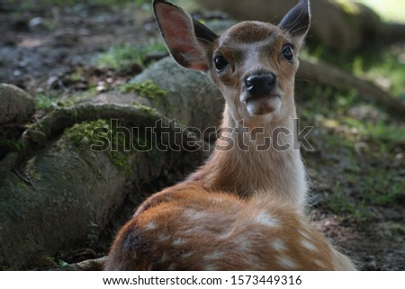 picture showing a cute baby deer lying in the park in nara, japan, cute bambi