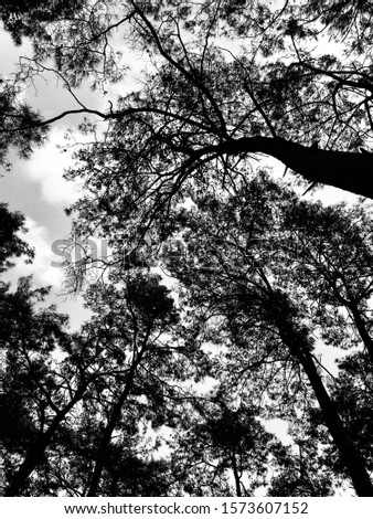 Black and white big tree forest. Cloud and sky. Tree picture. Nature picture.