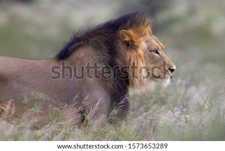 African lion (Panthera leo) - Male, Kgalagadi Transfrontier Park, Kalahari desert, South Africa.