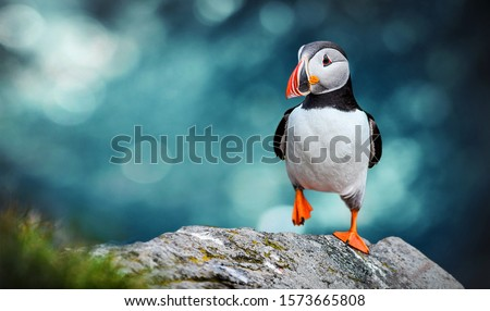 Atlantic Puffins bird or common Puffin in ocean blue background. Fratercula arctica. Norway most popular birds. #1573665808