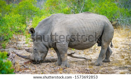 wild white rhino in kruger national park in mpumalanga in south africa #1573692853