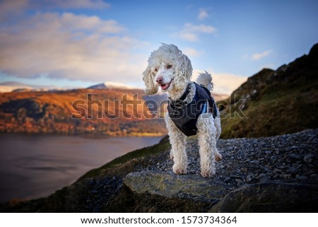 Miniature Poodle Dog Standing on Cat Bells Fell overlooking Derwentwater in Keswick, Lake District. Epic Sunrise background in magazine cover style hero image. - Image #1573734364
