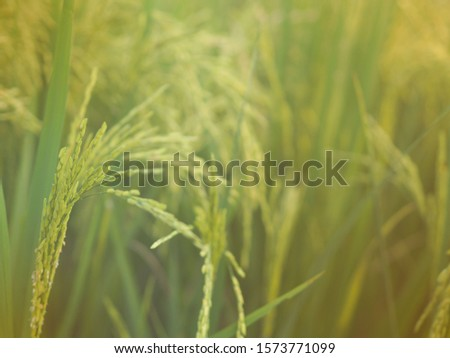 Rice in the field waiting for harvest #1573771099