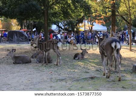 Nara, Japan - November 16, 2019: Nara Park in Nara Prefecture, Japan and the scenery of deer living in the park #1573877350