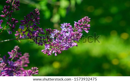 Syringa lilac species of flowering woody plants in the olive family native to woodland and scrub from southeastern Europe to eastern Asia and widely and commonly cultivated in temperate areas elsewher #1573932475
