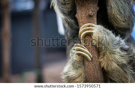 Dallas, Texas / US - November 10 2019: A three toed sloth hangs in a tree by their adorable hands and feet.