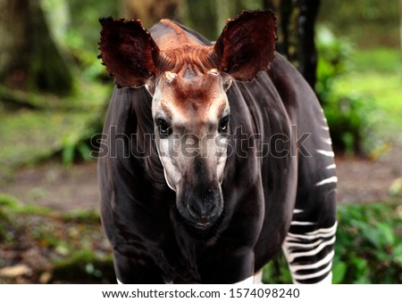The shy and elusive Okapi is endemic to the tropical rainforests of the Congo and is a close relative to the giraffe and is also a diurnal browser Royalty-Free Stock Photo #1574098240