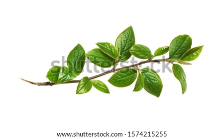 Spring twig with green leaves isolated on white #1574215255