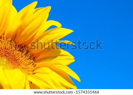 Cropped shot of sunflower over blue sky background. Abstract nature background, copy space for text. #1574331466