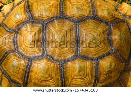 Close up Sulcata tortoise skin for animal skin #1574345188