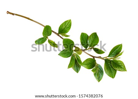 Spring twig with green leaves isolated on white #1574382076