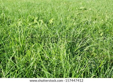 dewy green grass field on a garden #157447412