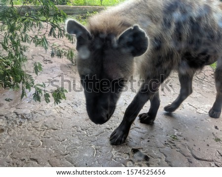a picture of a large hyena