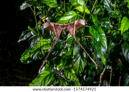 Moth photographed in Linhares, Espirito Santo. Southeast of Brazil. Atlantic Forest Biome. Picture made in 2014.