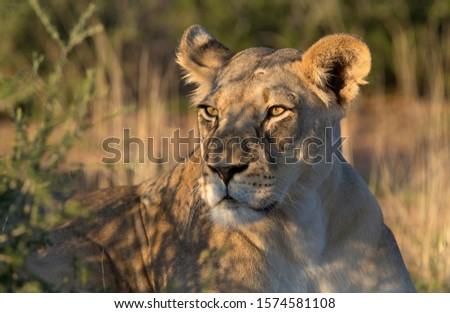 African lion (Panthera leo) -Female, Kgalagadi Transfrontier Park, Kalahari desert, South Africa.