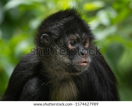 Portrait of a spider monkey looking to the right of the frame #1574627989