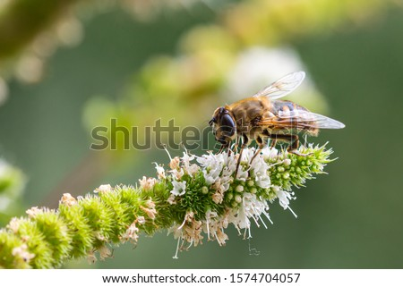 Macro of a honey bee (apis mellifera) on a mint (menta piperita) blossom with blurred bokeh background; pesticide free environmental protection save the bees biodiversity concept; #1574704057