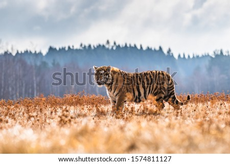Siberian Tiger running. Beautiful, dynamic and powerful photo of this majestic animal. Set in environment typical for this amazing animal. Birches and meadows #1574811127