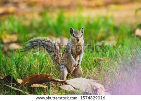 Close up of an indian squirrel standing up on legs to watch out for attacks from predators. #1574829016