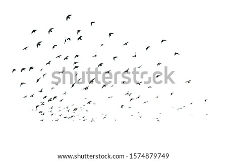 Flock of birds white background