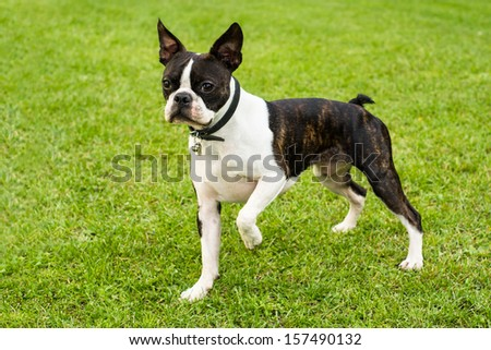 Boston Terrier on the green background