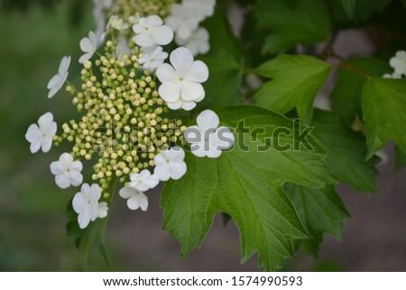 Viburnum, a genus of woody flowering plants Adoxaceae. Useful tree plant. Medicinal fruits. Home garden, flower bed, berries. White flowers #1574990593