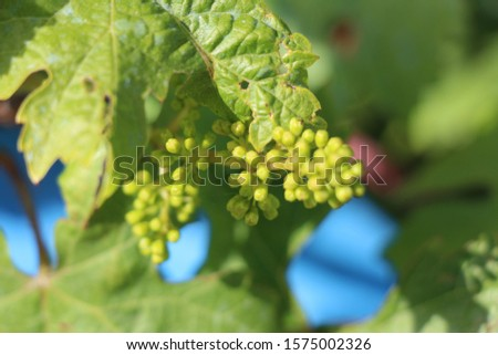 young grape berries with leaf background #1575002326