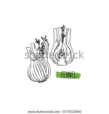 Hand drawn sketch style fennel set. Vector illustration.  Royalty-Free Stock Photo #1575032860