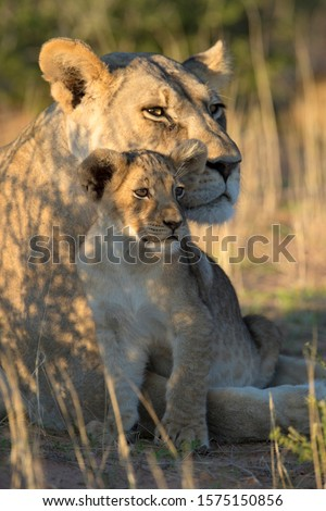 African lion (Panthera leo) -Female and cub, in the bush, Kgalagadi Transfrontier Park, Kalahari desert, South Africa/Botswana
