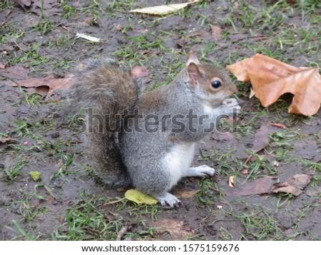 grey squirrel (Sciurus carolinensis) animal of phylum Chordata, class Mammalia (mammals) #1575159676