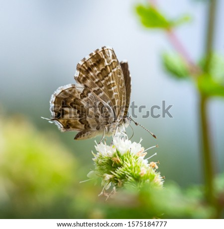 macro of a geranium bronze butterfly (cacyreus marshalli) on mint (menta piperita) blossom; as natural predators are missing in europe pest control is possible only through insecticides #1575184777