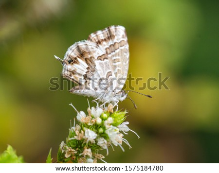 macro of a geranium bronze butterfly (cacyreus marshalli) on mint (menta piperita) blossom; as natural predators are missing in europe pest control is possible only through insecticides #1575184780