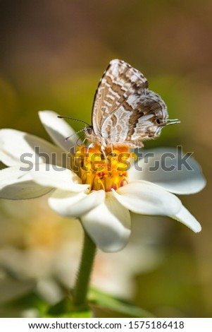 macro of a geranium bronze butterfly (cacyreus marshalli) on a zinnia blossom; as natural predators are missing in europe pest control is possible only through insecticides #1575186418