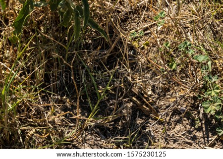 Well camouflaged grasshopper in the sun on a field  , picture from Northern Greece.