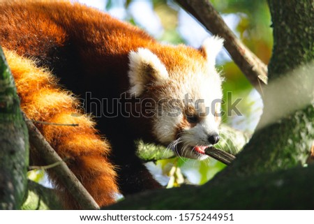 Red Panda looking for food and climbing around