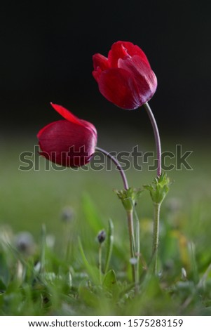 Anemones are heralds of spring Object