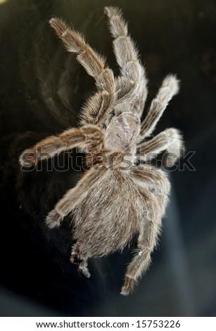 tarantula #15753226