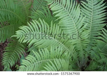 Green Lush Fern Plant Leaves  #1575367900