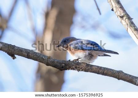 Isolated Blue bird, state bird of Missouri, sitting on branch in tree.  #1575396925